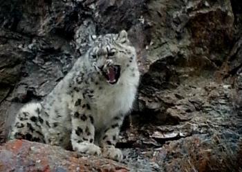 Snow Leopard sightng Himalaya
